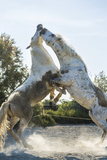 White Horse Stallions Fighting  the Camargue  France