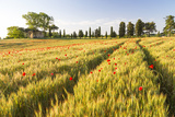 Field of Poppies and Old Abandoned Farmhouse  Tuscany  Italy