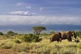 Mt Kilimanjaro Viewed from Amboseli National Park  Kenya  Africa