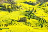 Rapeseed Farms in Niujie  Luoping