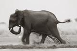 Elephant  Chobe Nat Pk  Botswana  Africa