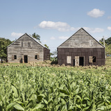 Drying House on a Tobacco Plantation  Pinar Del Rio Province  Cuba