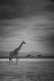 Amboseli Park Kenya Italy a Giraffe Shot in the Park Amboseli  Kenya  Shortly before a Thunderstorm