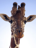Giraffe Looking at Camera  Tsavo  Kenya  Africa