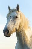 Portrait of White Horses Head  the Camargue  France
