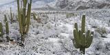 Saguaro Cactus in a Desert after Snowstorm  Tucson  Arizona  Usa