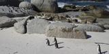 African Penguins (Spheniscus Demersus) at Boulders Beach  Simon's Town