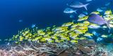 School of Bluestripe Snappers (Lutjanus Kasmira) Swimming About