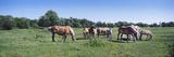 Belgium Horses Grazing in Field  Jordan  Scott County  Minnesota  Usa