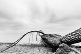 Fallen Tree on the Beach after Storm Sea on a Cloudy Day Black and White  far Horizon