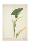 Colocasia Antiquoturn Schott  1800-10