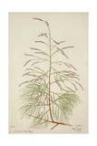 Tamarix Dioica Roxb  1800-10