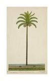 Areca Or Beetlenut Tree  1800-10