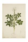 Cleome Pontaphylla  1800-10