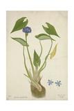 Monochoria Hastaefolia Presl  1800-10
