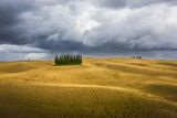 Wheat and Cypresses in Tuscany