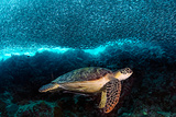 Turtle and Sardines Papier Photo par Henry Jager