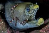Viper Moray and Boxer Shrimp