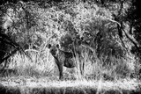 Awesome South Africa Collection B&W - Brown Hyena