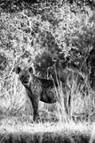 Awesome South Africa Collection B&W - Portrait of a Brown Hyena