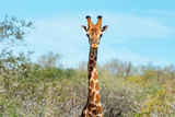 Awesome South Africa Collection - Giraffe Portrait