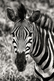 Awesome South Africa Collection B&W - Zebra Portrait Papier Photo par Philippe Hugonnard