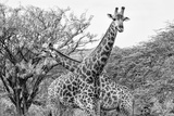 Awesome South Africa Collection B&W - Giraffe Mother and Young IV Papier Photo par Philippe Hugonnard