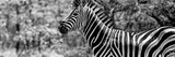 Awesome South Africa Collection Panoramic - Close-Up of Zebra B&W