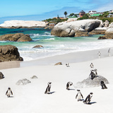 Awesome South Africa Collection Square - Group of Penguins at Boulders Beach III Papier Photo par Philippe Hugonnard