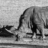 Awesome South Africa Collection Square - Black Rhino drinking from pool of water