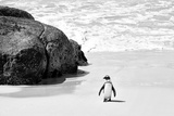 Awesome South Africa Collection B&W - Penguin at Boulders Beach II Papier Photo par Philippe Hugonnard