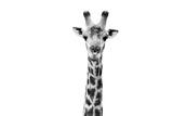Safari Profile Collection - Giraffe Portrait White Edition II Papier Photo par Philippe Hugonnard
