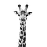 Safari Profile Collection - Giraffe Portrait White Edition IV Papier Photo par Philippe Hugonnard