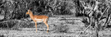 Awesome South Africa Collection Panoramic - Impala Antelope II Papier Photo par Philippe Hugonnard