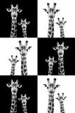 Safari Profile Collection - Two Giraffes