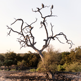 Awesome South Africa Collection Square - Three Whitebacked Vulture on the Tree I