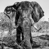 Awesome South Africa Collection Square - Portrait of African Elephant B&W