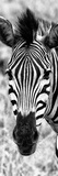 Awesome South Africa Collection Panoramic - Close-up Zebra Portrait B&W