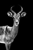 Safari Profile Collection - Antelope Black Edition Papier Photo par Philippe Hugonnard