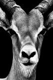 Safari Profile Collection - Portrait of Antelope Black Edition Papier Photo par Philippe Hugonnard