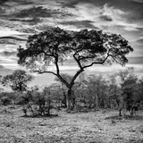 Awesome South Africa Collection Square - Acacia Tree at Sunrise B&W