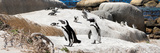 Awesome South Africa Collection Panoramic - Boulders Beach Penguins Colony III