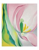 Pink Tulip  1926