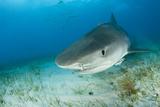 Tiger Shark (Galeocerdo Cuvier) Northern Bahamas, Caribbean Sea, Atlantic Ocean Papier Photo par Franco Banfi