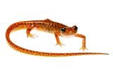 Cave Salamander (Eurycea Lucifuga) Nachez Trace Parkway  Mississippi  USA