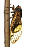 13-Year Periodical Cicada (Magicicada Tredecim) Oxford  Mississippi  USA