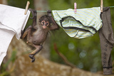 Central American Spider Monkey (Ateles Geoffroyi) Orphan Baby Hanging from Washing Line