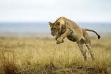 Lion (Panthera Leo) Female Jumping - Hunting  Masai Mara Game Reserve  Kenya