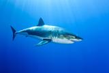 Great White Shark (Carcharodon Carcharias) Guadalupe Island, Mexico, Pacific Ocean Papier Photo par Franco Banfi