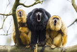 Black Howler Monkeys (Alouatta Caraya) Male and Two Females Calling from Tree Papier Photo par Juan Carlos Munoz